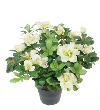 Mr Plant Azalea 25 cm